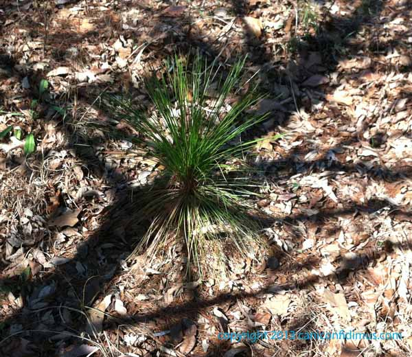 Our baby longleaf