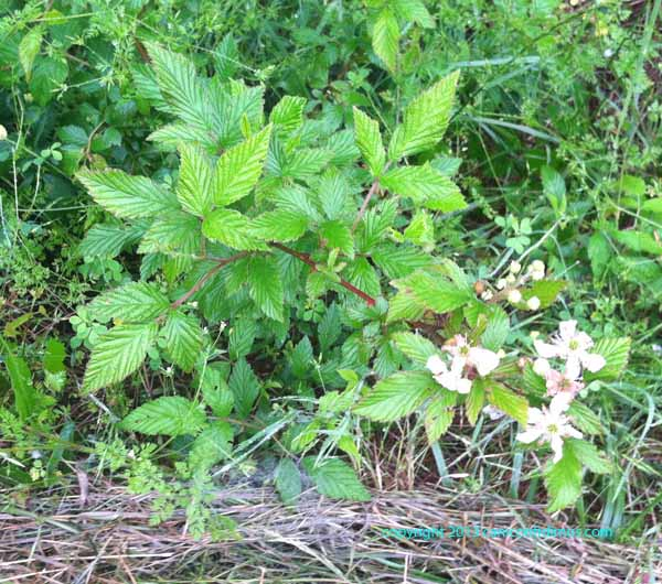 Blackberries have leaves of three, too