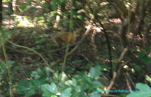 zoom fox in the woods